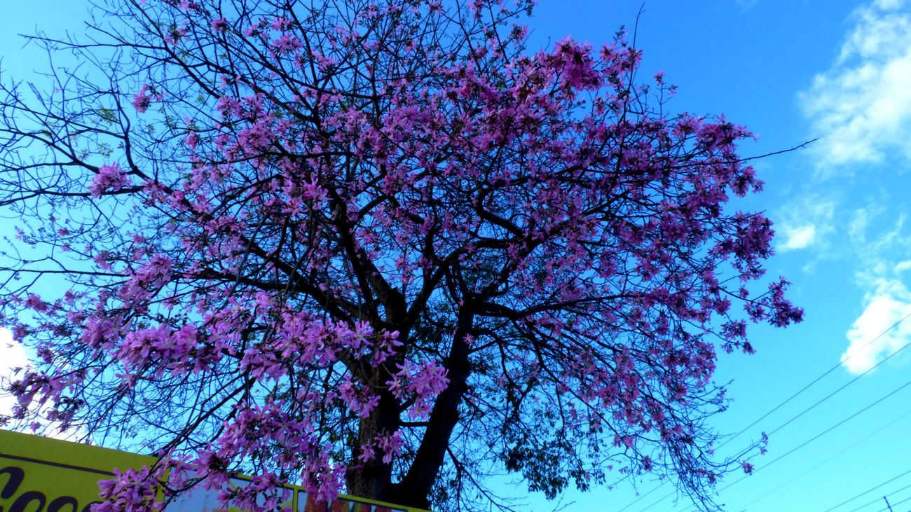 Brasília Day DMC FZ 70 Flower Fragility Freshness Low Angle View Nature Outdoors Paineira Rosa Pink Color Sky Tree