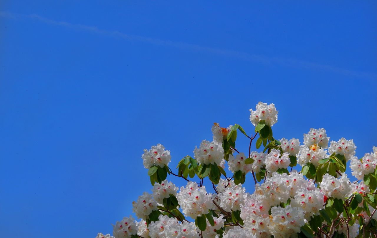 flower, fragility, growth, beauty in nature, blossom, nature, blue, springtime, white color, copy space, no people, apple blossom, tree, day, freshness, clear sky, pink color, outdoors, branch, close-up, low angle view, blooming, flower head, sky