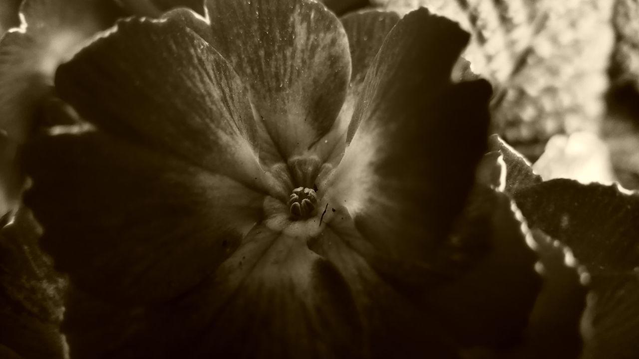 Primrose in grey Nature No People Fragility Beauty In Nature Freshness Panasonic DMC FZ1000 Scenics Nature Photography Photography Themes Macro Photography Macro_collection Macro_flower Primrose Grey Photography Flower Flowerphotography