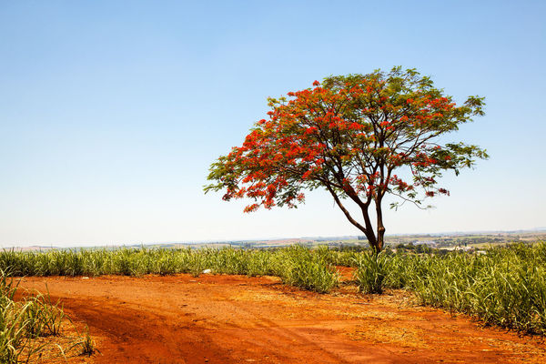 Agriculture Delonix Regia Fabaceae Growth Nature Ornamental Path Road Tree Cultivation Ethanol Flamboyant Flowers Landscape Plantation Plantations Sugar Cane Sugarcane Tillage Water