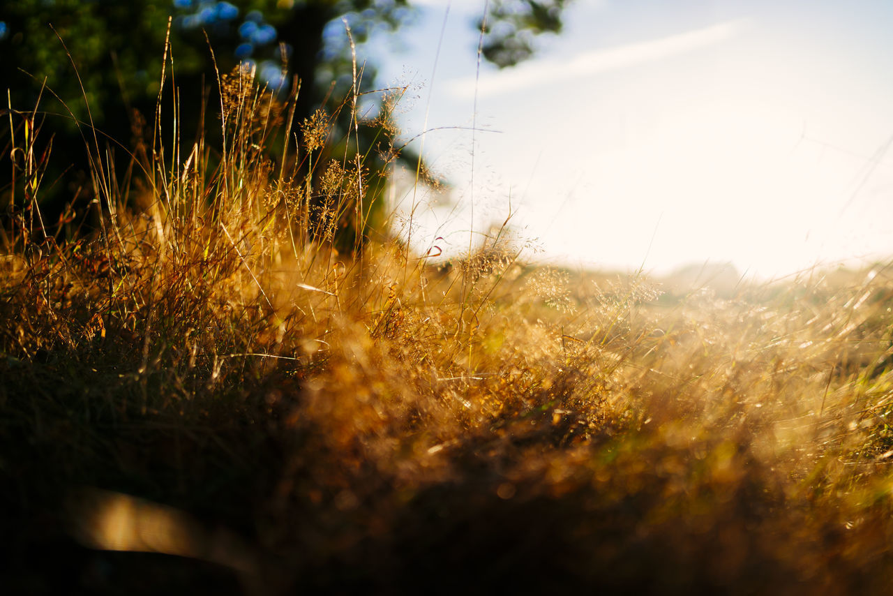 grass, selective focus, nature, field, no people, growth, sunset, sunlight, plant, tranquility, beauty in nature, tranquil scene, outdoors, scenics, close-up, day, sky