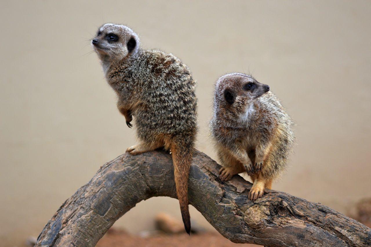Meerkats Sitting On Wood In Zoo