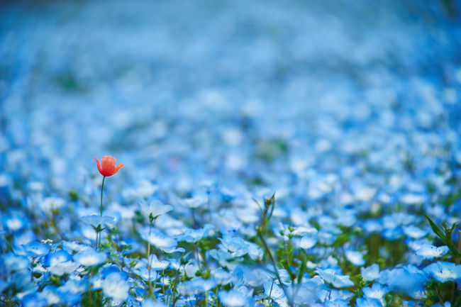 Beauty In Nature Blooming Blue Capture Close-up EyeEm Best Shots Flower Flower Head In Bloom Lonley Nature Photography Nature_collection Nemophila No People Only Red Flower