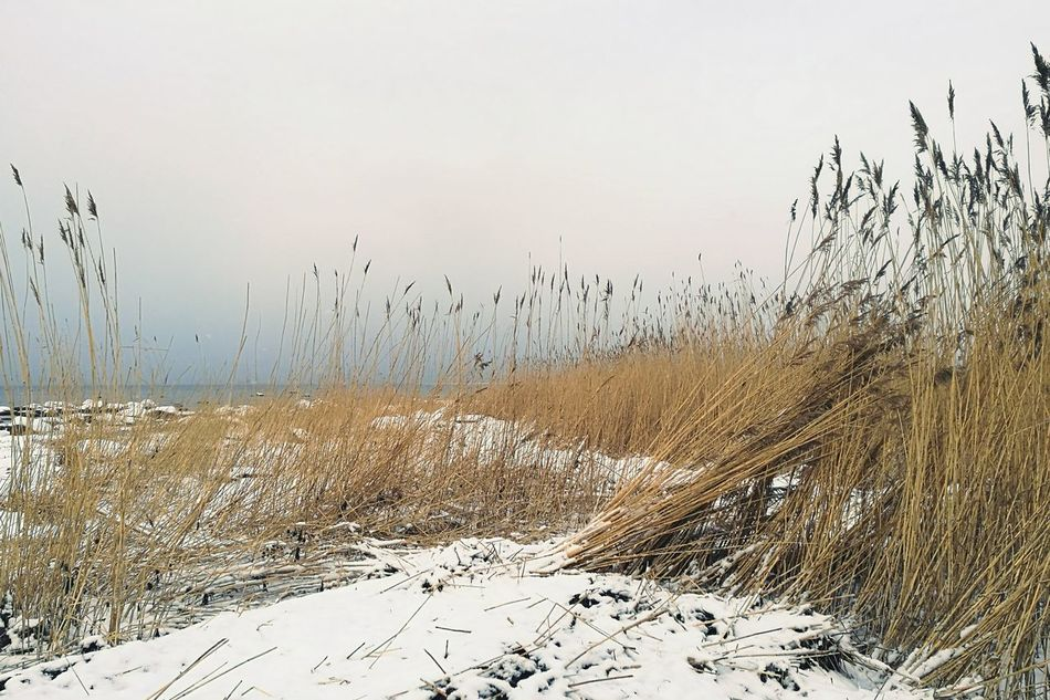 Reeds By Water Winter Seaside Calming View Snowy Nature Sky