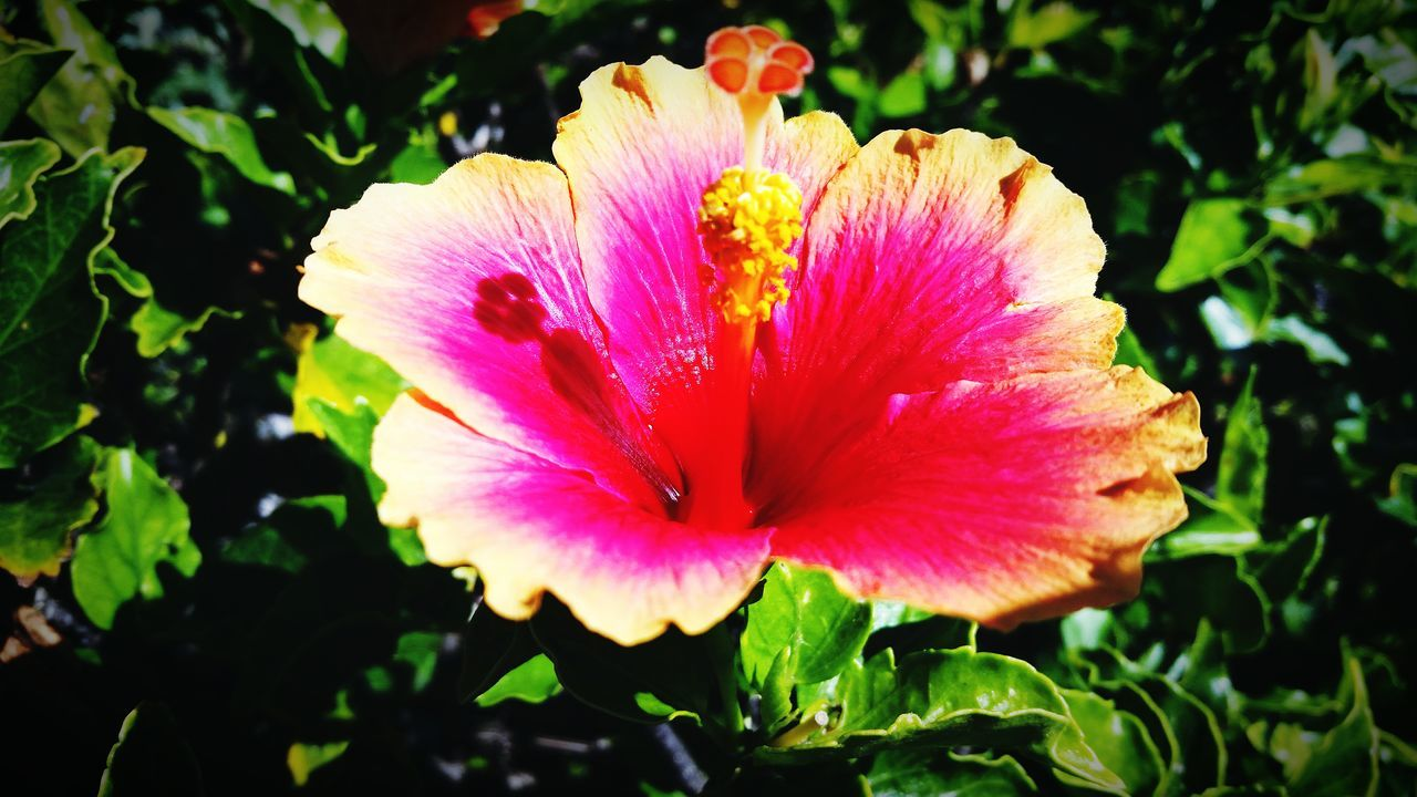 Jamaica Flower Fragility Pink Color Close-up Hibiscus