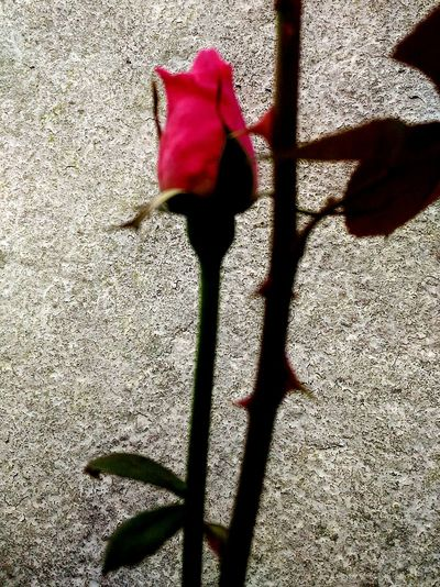 Rosa Flower Beauty In Nature Fragility Sunlight Petal Flower Head Selective Focus Coloradophotographer Brilliant Colors Maximum Closeness