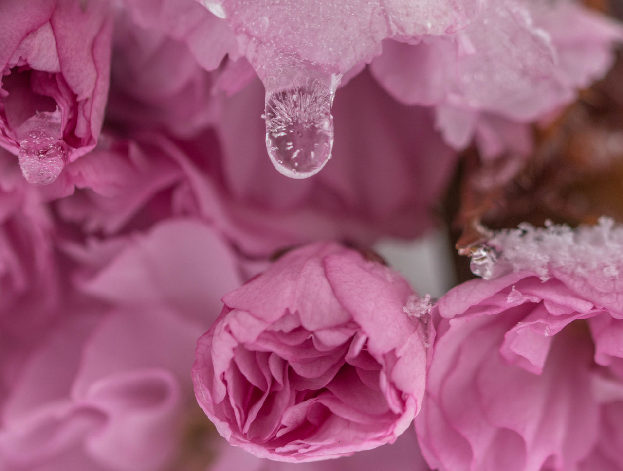 Beauty In Nature Blooming Cold Spring Drop Flower Flower Head Fragility Growth Nature Petal Pink Color Plant Rose - Flower