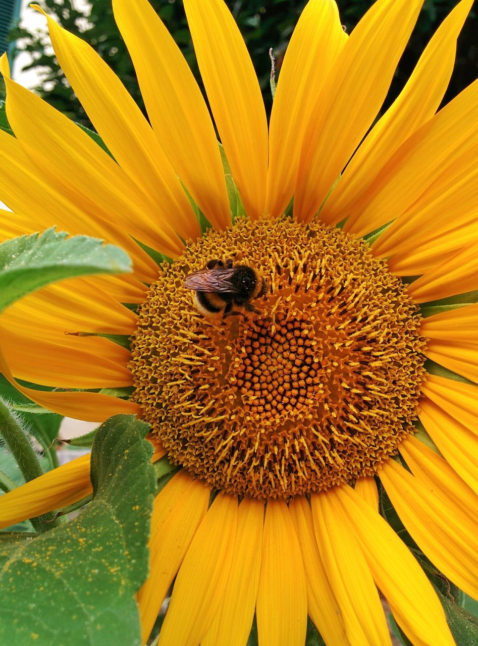 flower, one animal, animal themes, animals in the wild, petal, yellow, insect, nature, beauty in nature, animal wildlife, fragility, flower head, pollen, bee, growth, day, freshness, no people, outdoors, plant, close-up, sunflower, honey bee, pollination, blooming, bumblebee, buzzing