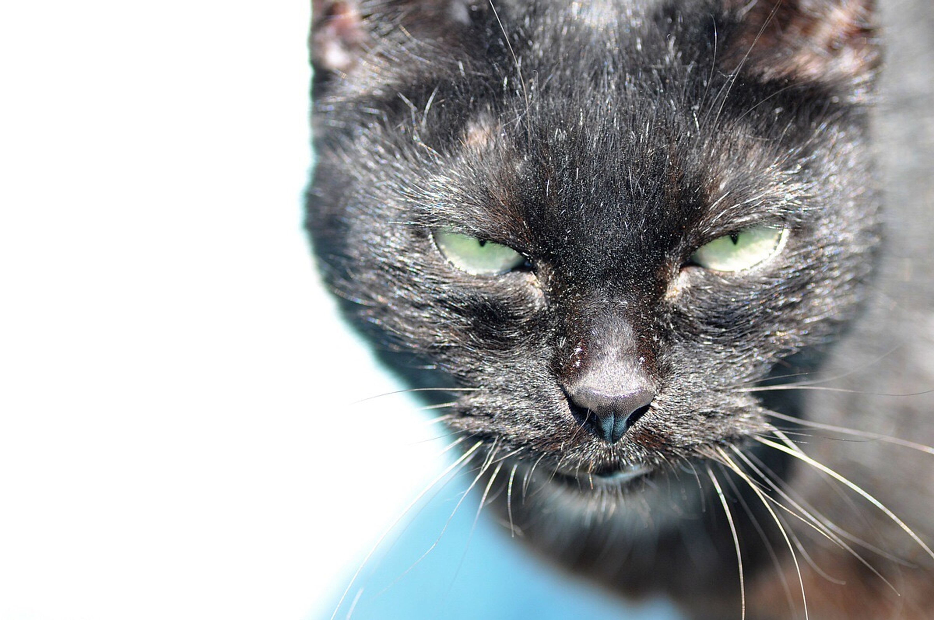 pets, one animal, domestic animals, animal themes, domestic cat, close-up, animal head, cat, whisker, mammal, feline, studio shot, white background, snout, looking at camera, zoology, focus on foreground, animal, animal nose, animal eye, no people, animal hair