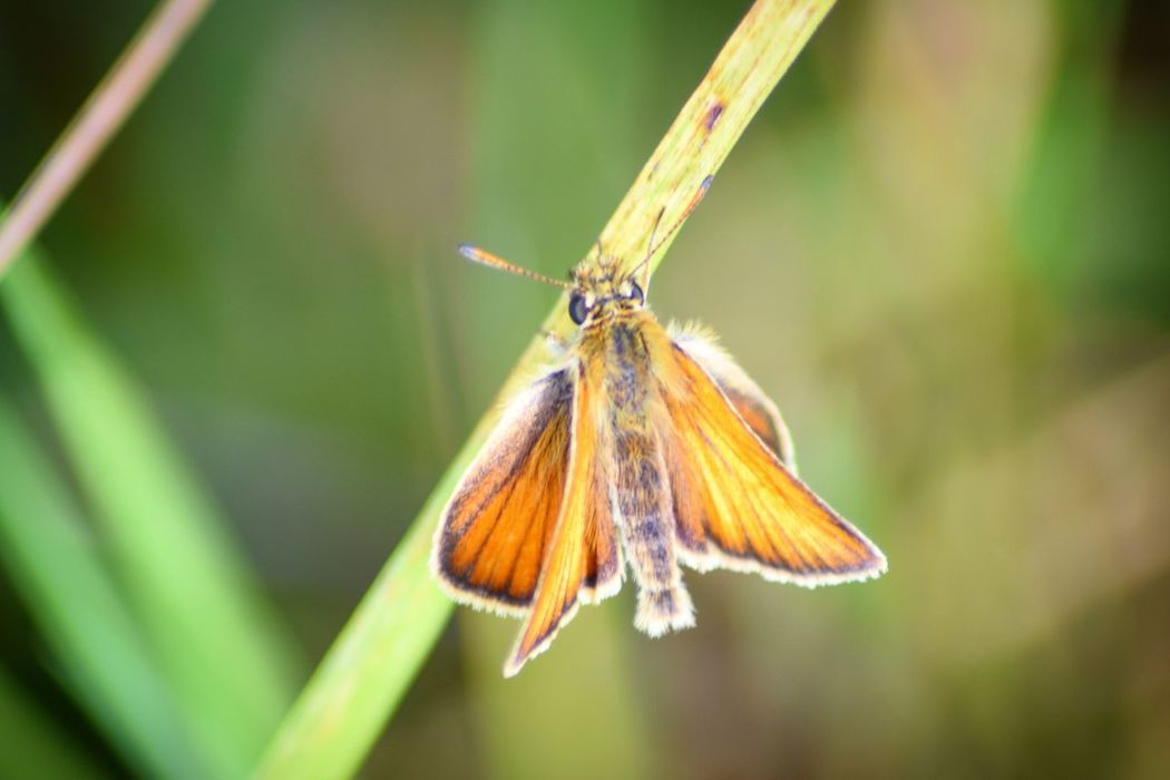 Small Skipper Butterfly Insect Close-up Nature Outdoors Wildlife Photography River Adur Shoreham Lancing  Grass Field Butterly Small Skipper Macro Photography Macro Riverside Female