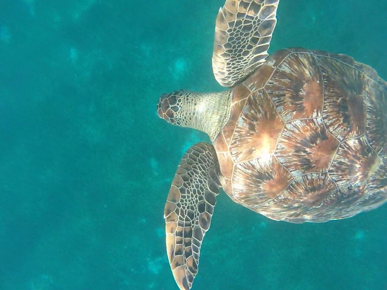 Travel Destinations Martinique Underwater Turtle UnderSea Animal Themes One Animal Water Sea Life Swimming Sea Nature Animals In The Wild Sea Turtle Animal Wildlife Reptile Beauty In Nature No People Close-up Outdoors Day https://youtu.be/2fYSAutD-zU