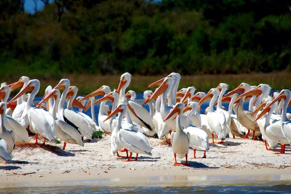 Albino Pelicans Flock Of Pelicans Cedar Key Gulf Of Mexico Island Florida Beach Flock Of Birds Cedar Key National Wildlife Refuge
