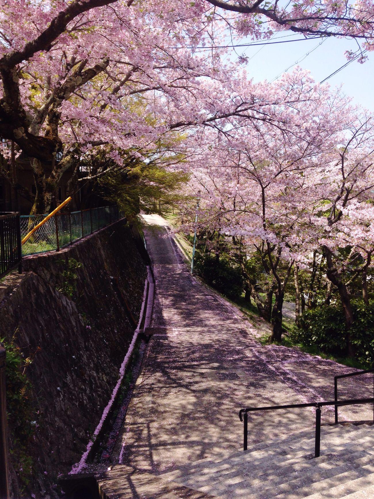Senkoji Park Japan Japan Photography Onomichi, Japan Sakura Cherry Blossoms Spring Beautiful Niceweather Weekend SakuraFubuki
