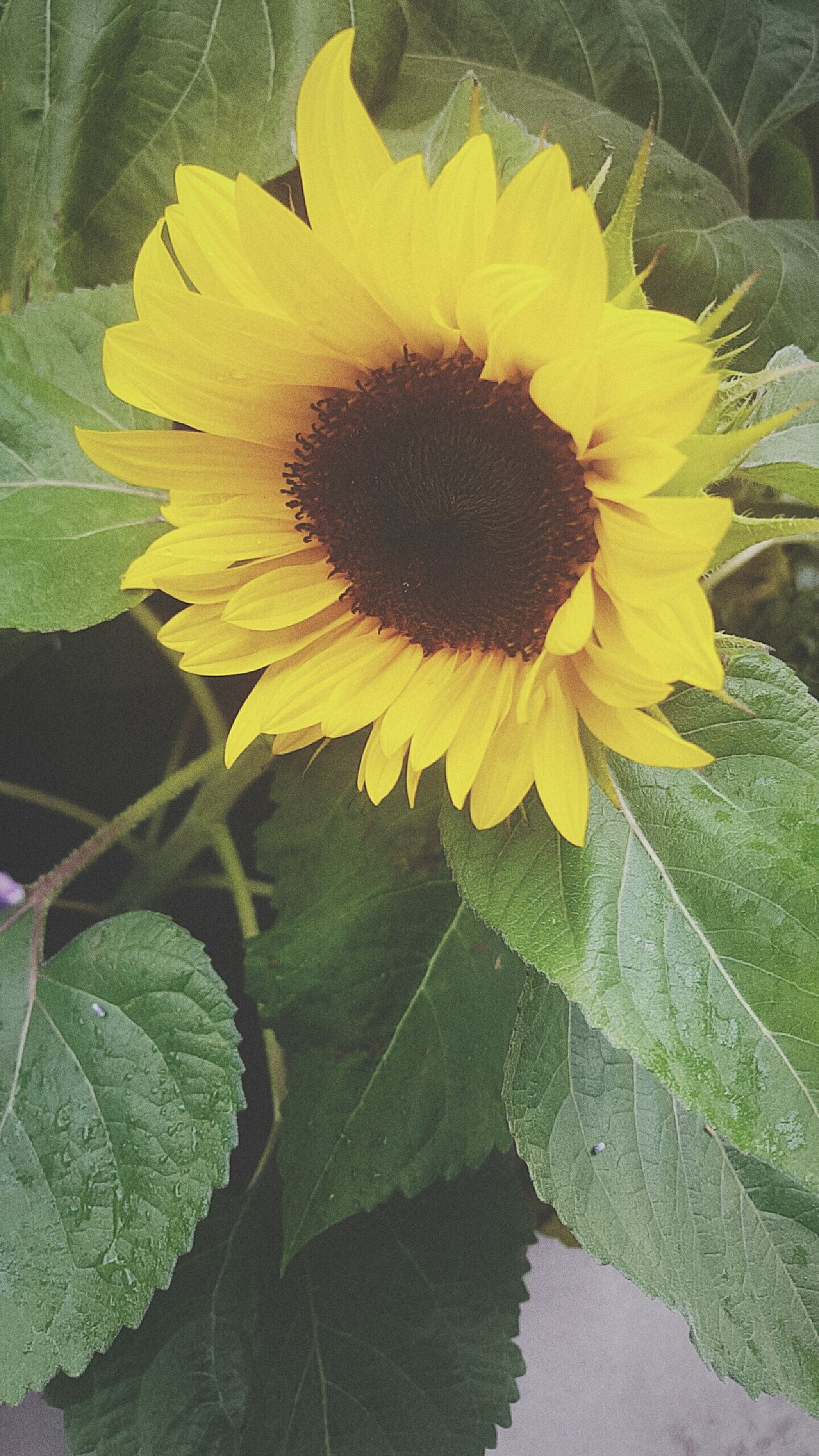 Sunflower Sunflower Art Createdaily Flowers Wildflowers Nature Plants Love Artist Photography Inspire Life Melbourneartists