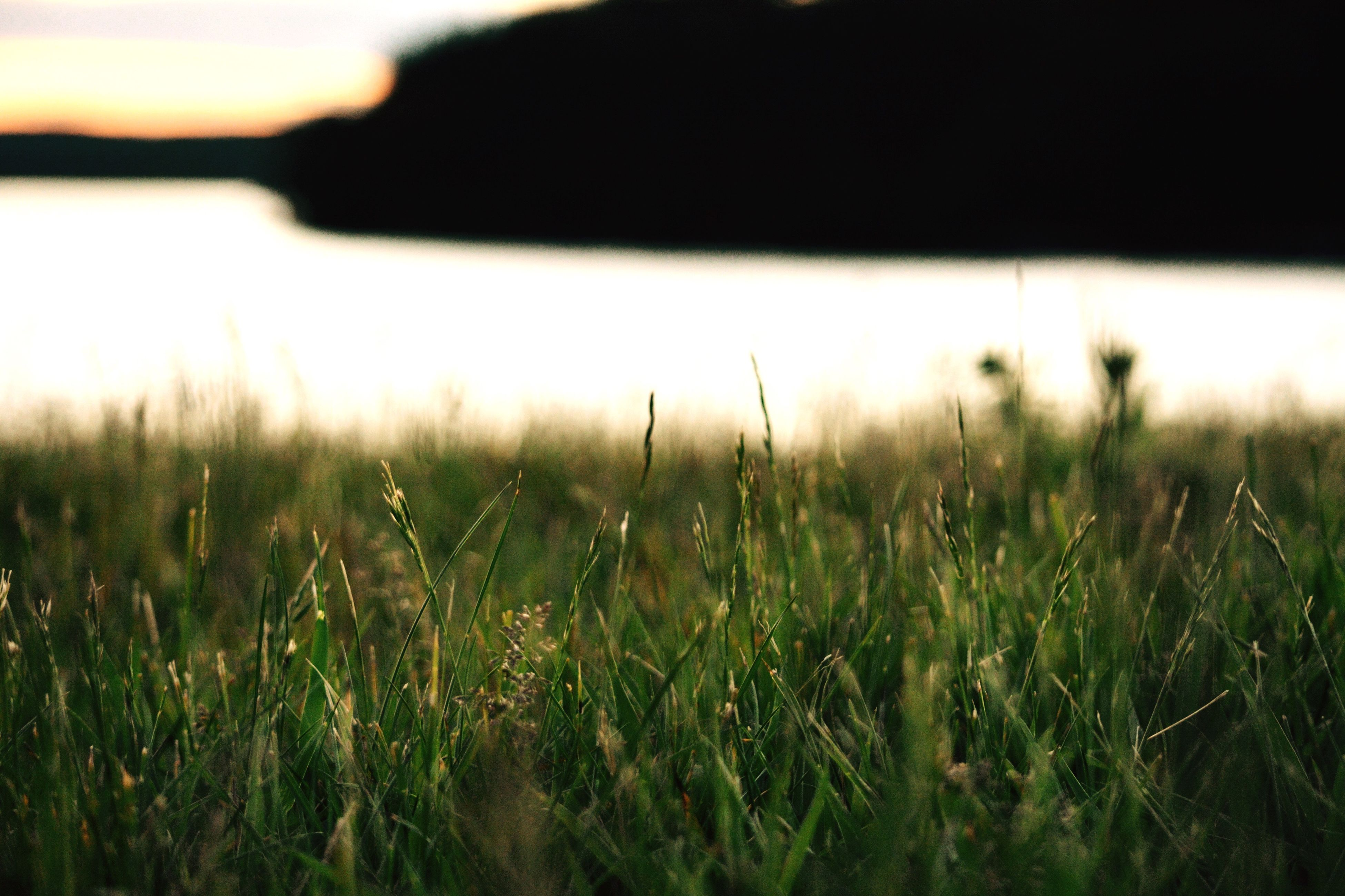 grass, field, growth, nature, tranquility, beauty in nature, no people, outdoors, landscape, close-up, day, wheat, sky