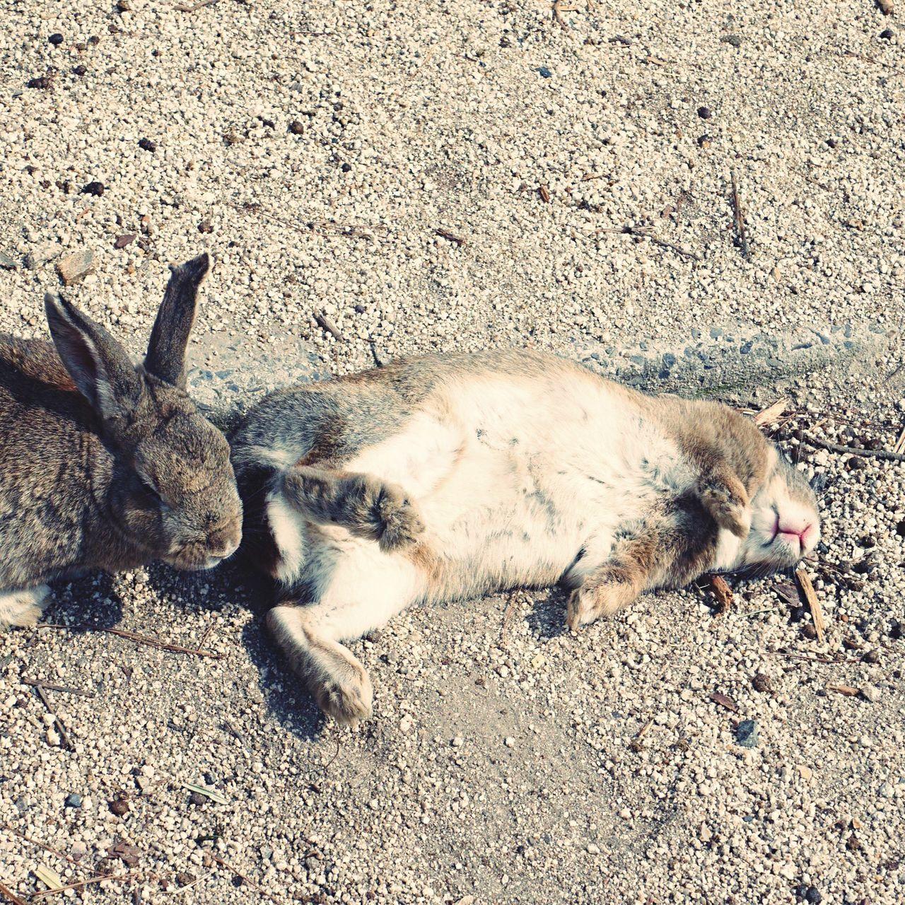 Sleeping rabbits 😄 Rabbit Rabbits Rabbit ❤️ Animal Themes Animals In The Wild Animals Animal Animal Wildlife Funny Beach Photography Beautiful Nature Island Animal Photography Nature Photography Nature_collection Cute Beautiful Pretty Nature Japanese  Outdoors