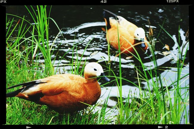 Duck Nature