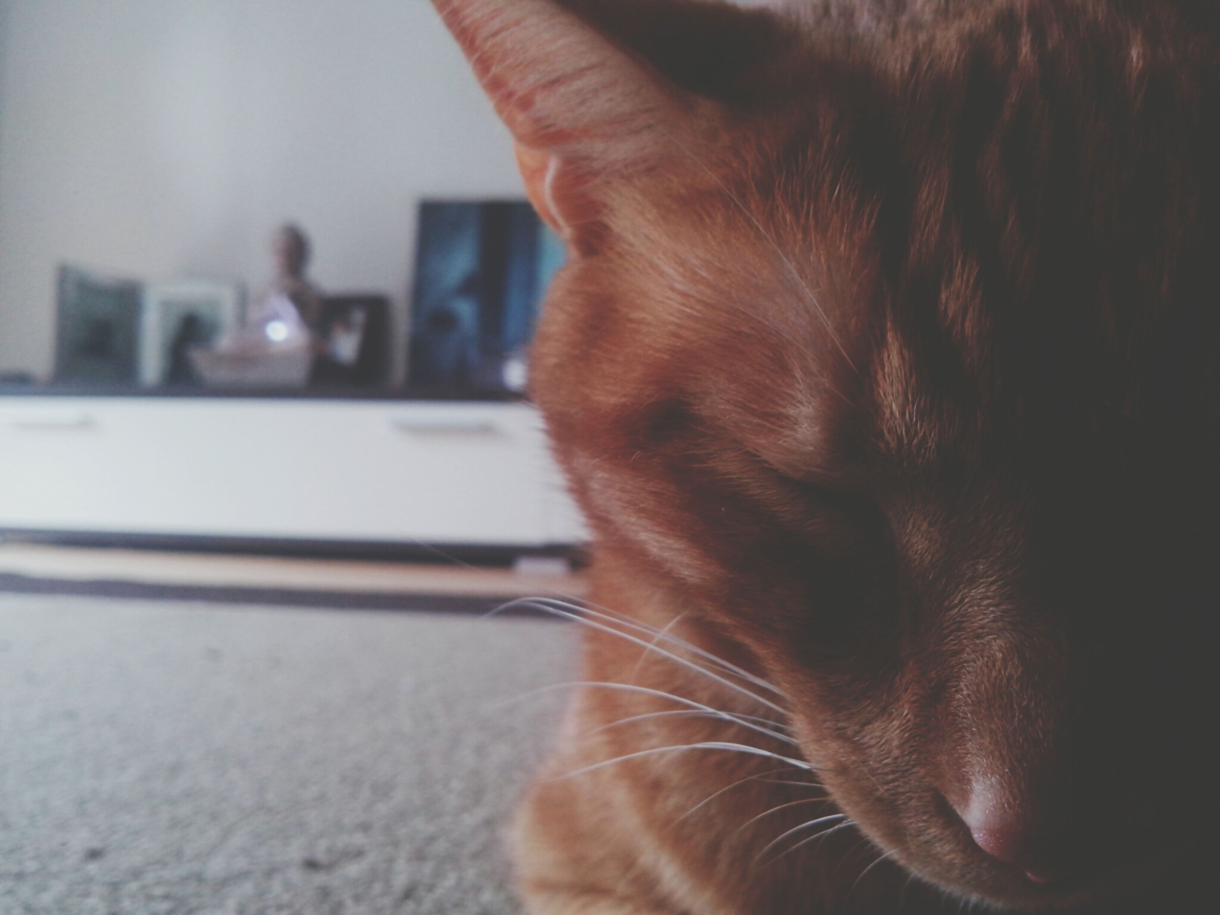 one animal, domestic animals, pets, animal themes, domestic cat, mammal, cat, indoors, feline, whisker, close-up, focus on foreground, animal head, selective focus, part of, relaxation, animal body part, home interior, side view, looking away