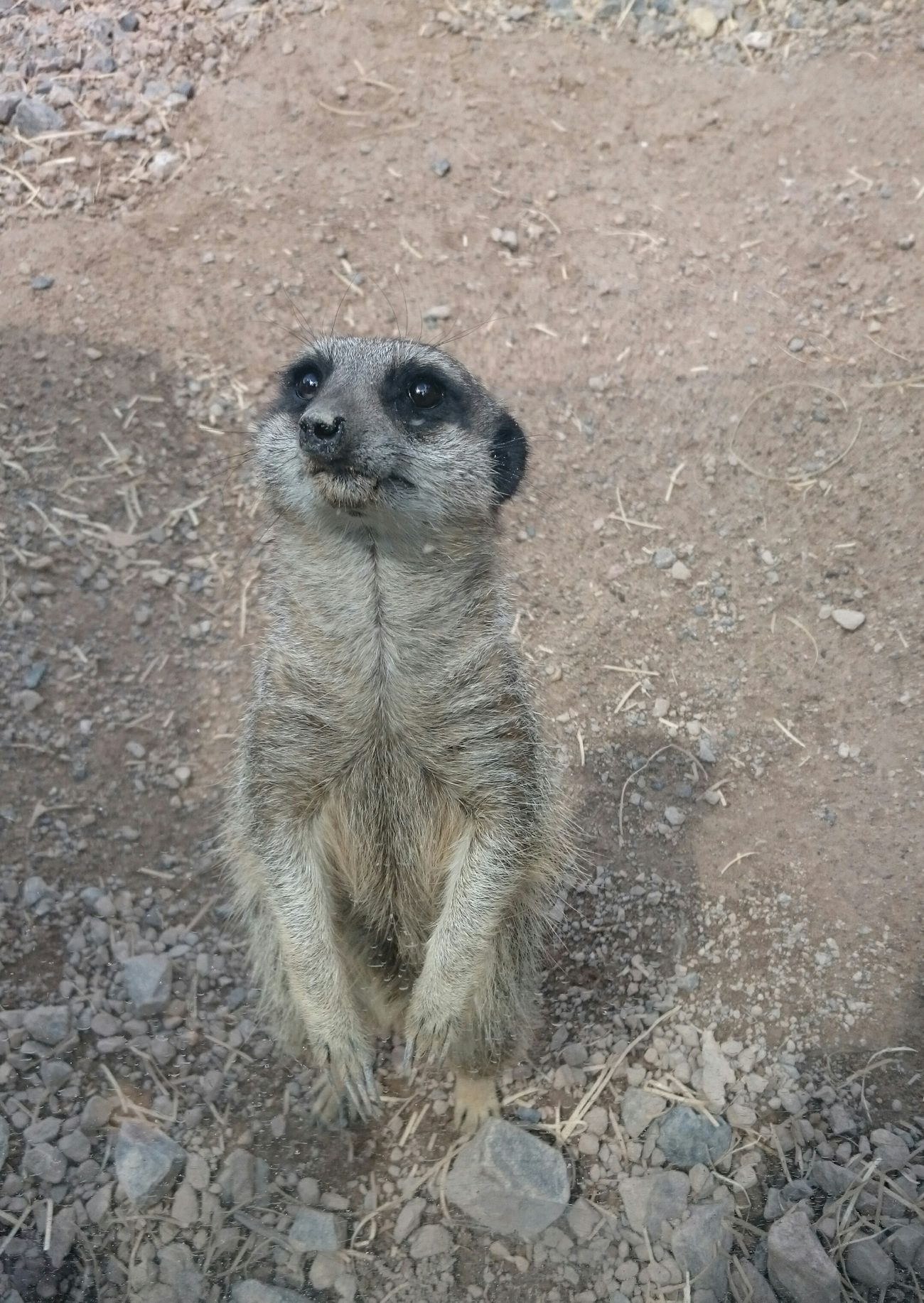 Meerkat Animal Themes Mammal No People Animal Wildlife Outdoors Nature Animal One Animal Sand Animals In The Wild High Angle View Day