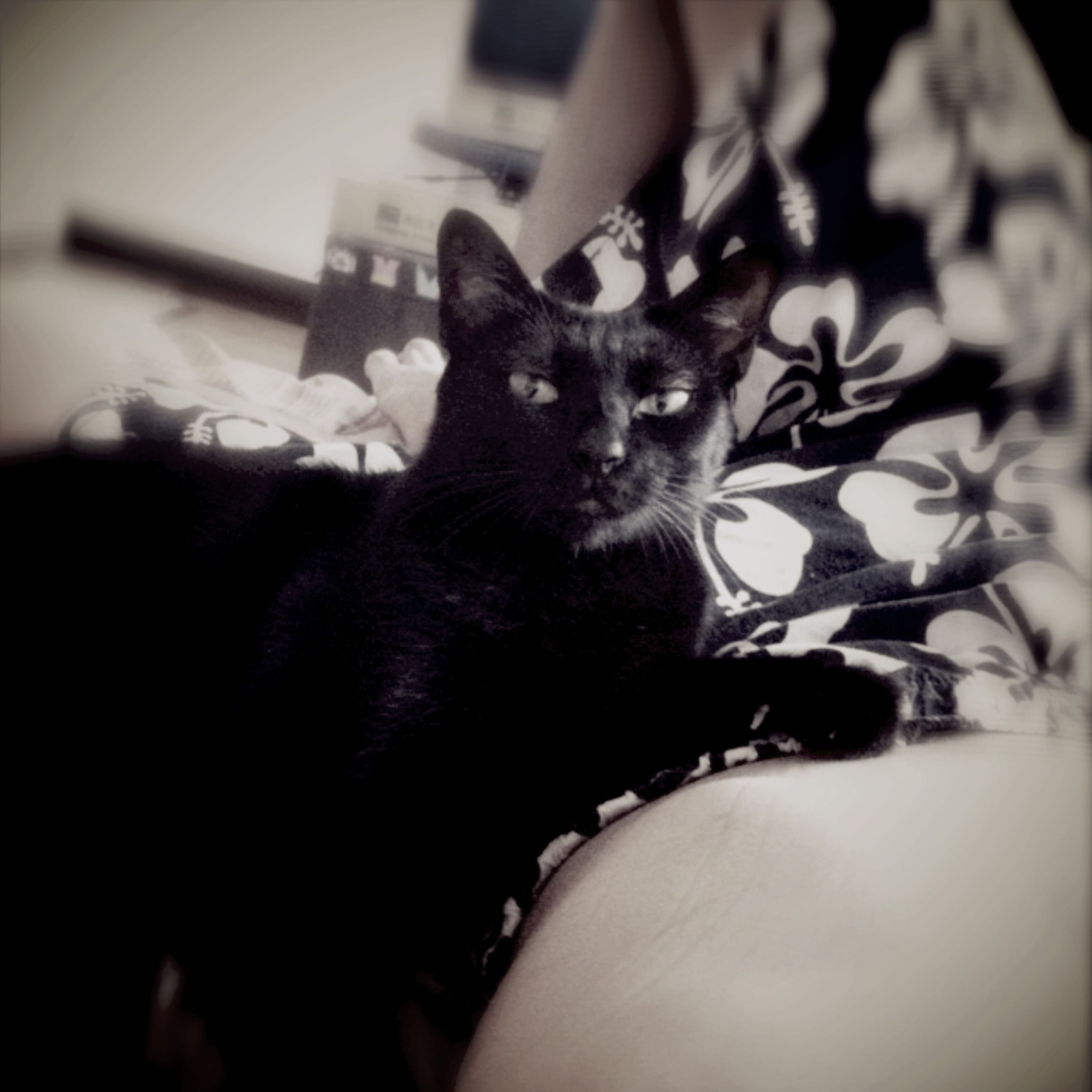 domestic cat, cat, pets, domestic animals, one animal, indoors, feline, animal themes, mammal, whisker, portrait, looking at camera, relaxation, home interior, close-up, black color, staring, sitting, animal head