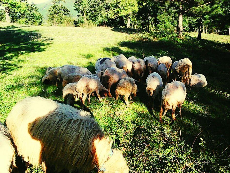 Koyunlar Yesillikler Inebolu Yasaminkaresi Hayvanlarısevelim Hayvanseverler Hayvansevgisi Kuzucuklar Kuzummm