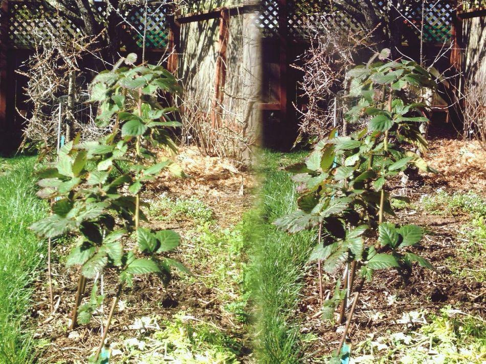 Blackberry Stereoptic Poppy Camera In My Garden