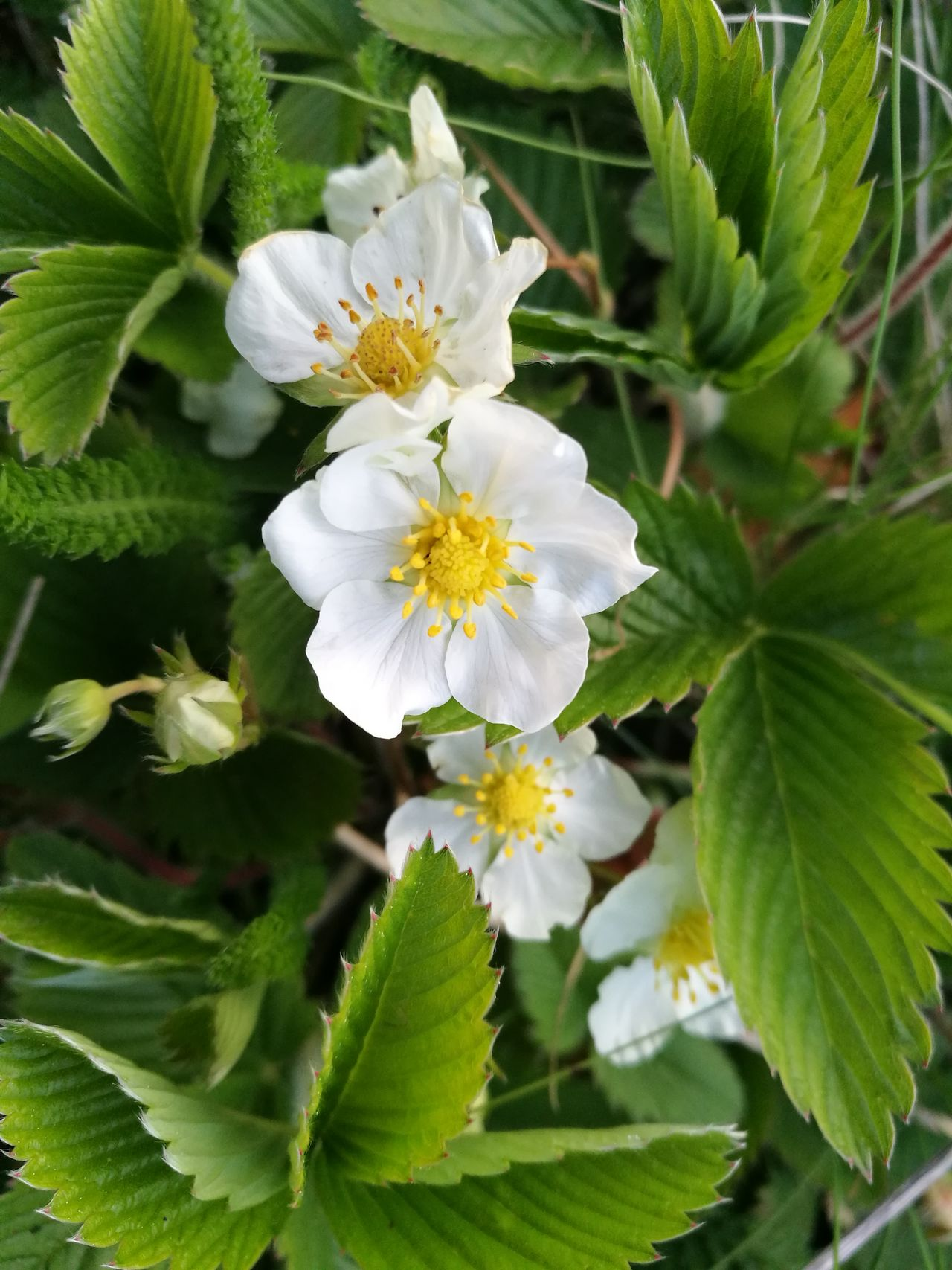 Wild strawberry flowers Flower Fragility White Color Blossom Flower Head Leaf Botany Springtime Petal Close-up Stamen Beauty In Nature Freshness Nature Growth Day No People Outdoors