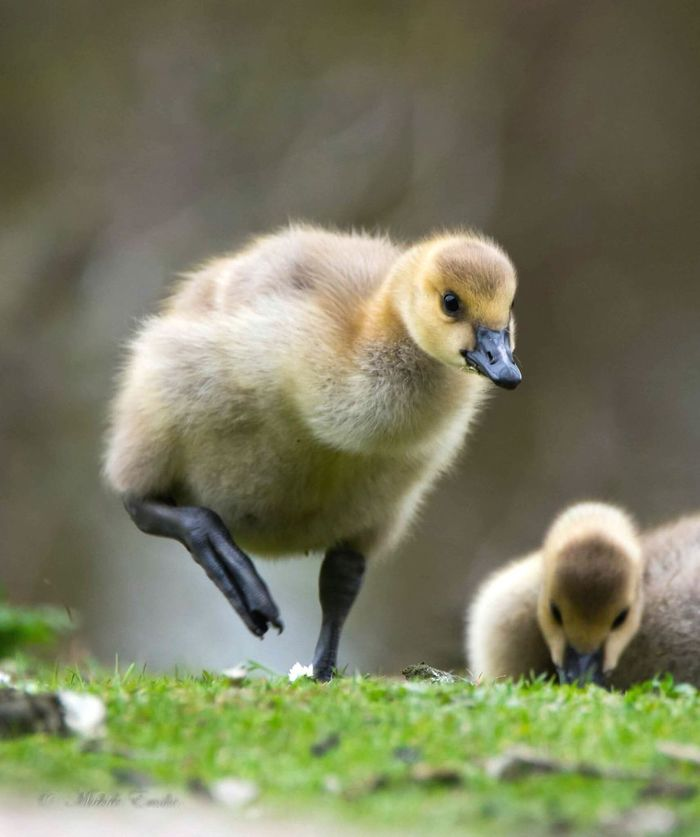 On a mission....Young determined Canada Goose Bird_lovers_daily Bird_brilliance Birds_collection Birds Of EyeEm  Cutenessoverload Gosling Baby Birds Young Bird Wildlife & Nature Aberdeenshire Branta Canadensis Birds🐦⛅ Goose Allmightybirds