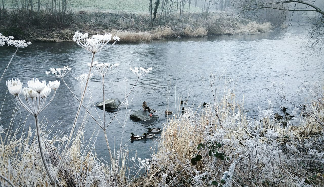 ... Ducks & Frost , River Severn Nature Water Cold Temperature Outdoors No People Day Birds River Hafren Wales Winter Morning River Bank  Beauty In Nature Frosty Foggy Fog Cold Town Adapted To The City мороз
