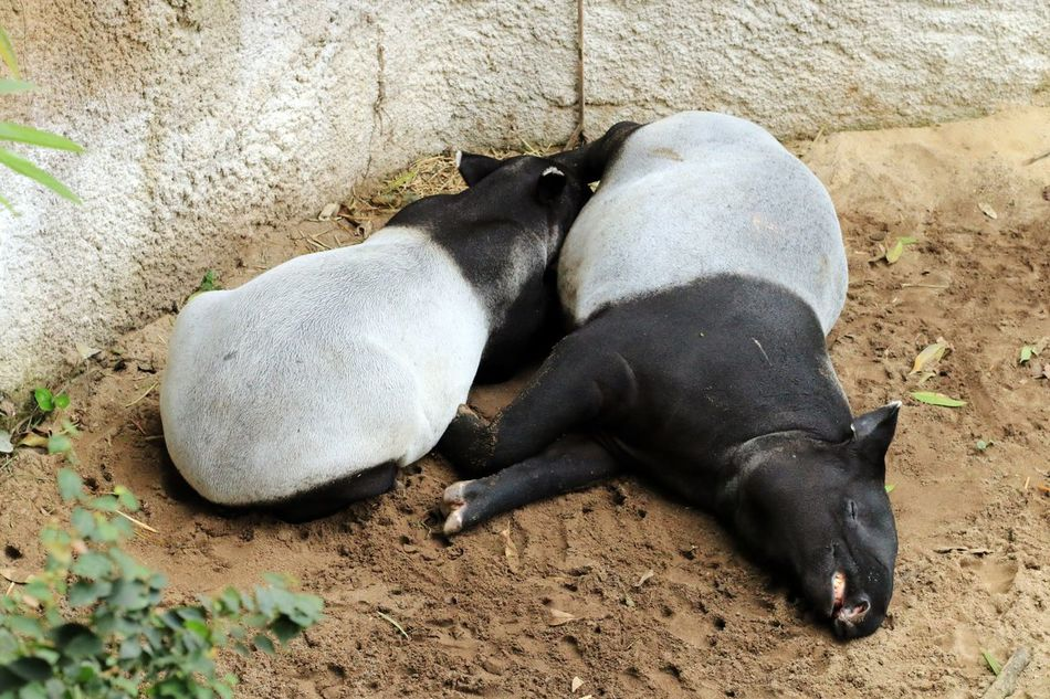 Tapir Animal Themes Mammal Domestic Animals Black Color Two Animals Pets High Angle View No People Day Togetherness Outdoors Relaxation Nature Zoo Tapir Wildlife