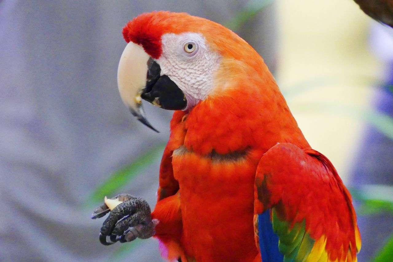 A Parrot That Eating Food A Parrot A Parrot. Bird. Animal Themes Animal Wildlife Animals In The Wild Beauty In Nature Bird Close-up Day Focus On Foreground Macaw Nature No People Outdoors Parrot Parrot Lover Parrots Of Eyeem Perching Rainbow Lorikeet Red Scarlet Macaw Togetherness นก นกสวยงาม นกแก้ว Live For The Story The Great Outdoors - 2017 EyeEm Awards