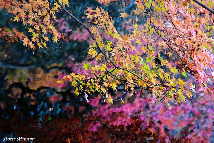 Autumn Beauty In Nature Reflection EyeEm Team Japan Week On Eyeem EyeEmNewHere The Week On EyeEm EyeEm Best Shots Kyoto 紅葉 京都
