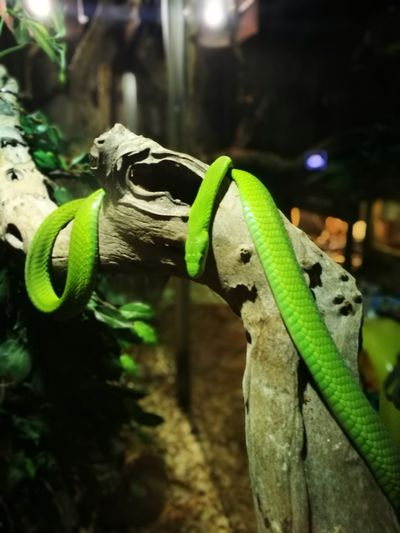 Animal Wildlife Reptile Green Mamba Animal Themes
