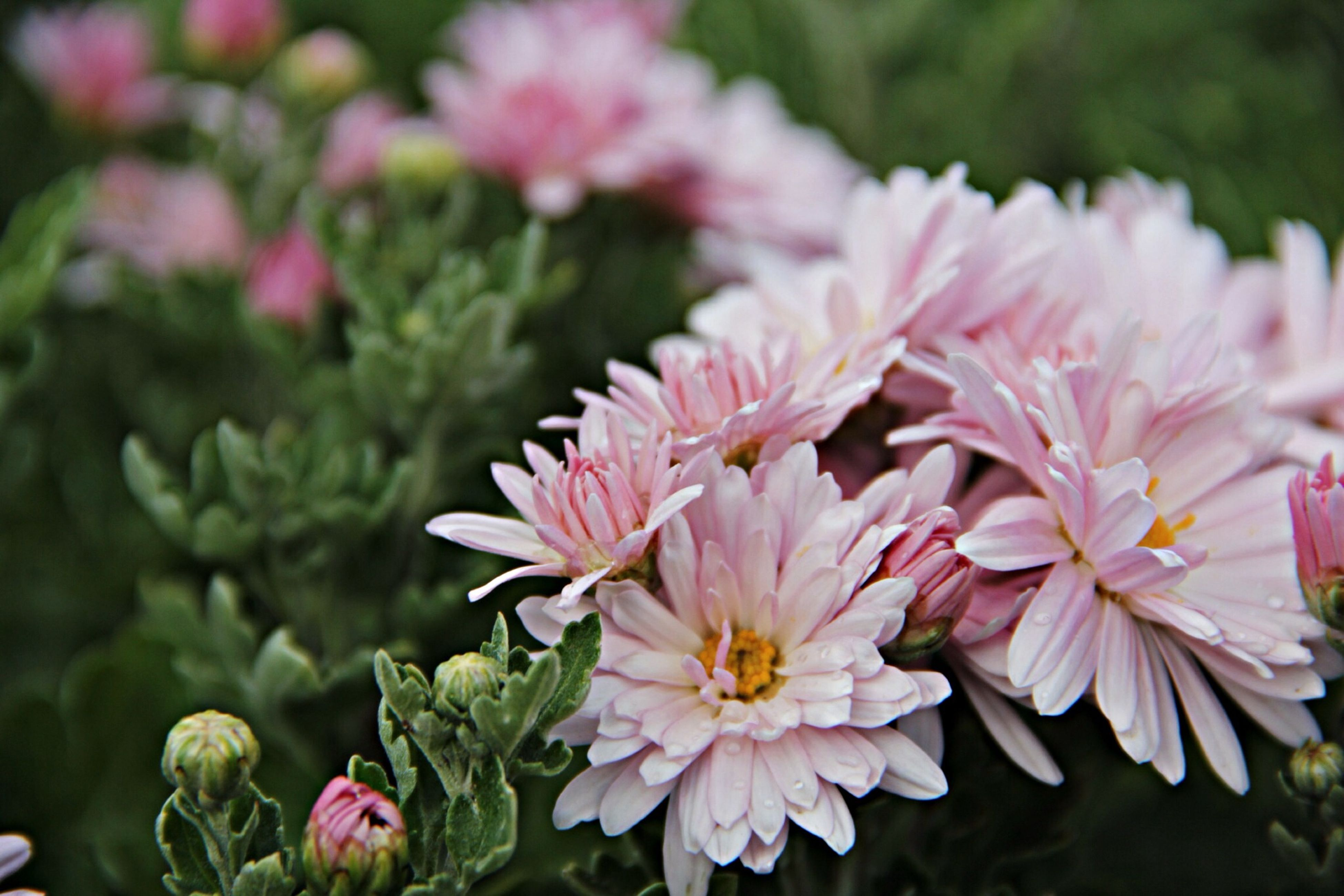 flower, freshness, petal, fragility, pink color, growth, flower head, beauty in nature, focus on foreground, blooming, close-up, nature, plant, in bloom, park - man made space, pink, outdoors, day, selective focus, blossom