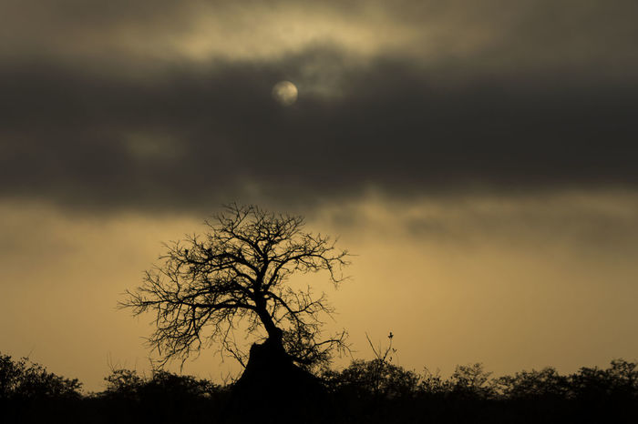 Early morning sun through the clouds with an isolated tree covered by an ant mound in Southern Africa - Kruger National Park. Nature Tree Sky Tree Trunk Ant Mound Sunrise And Clouds Sunrise South Africa Southern Africa Kruger National Park, South Africa First Eyeem Photo EyeEmNewHere