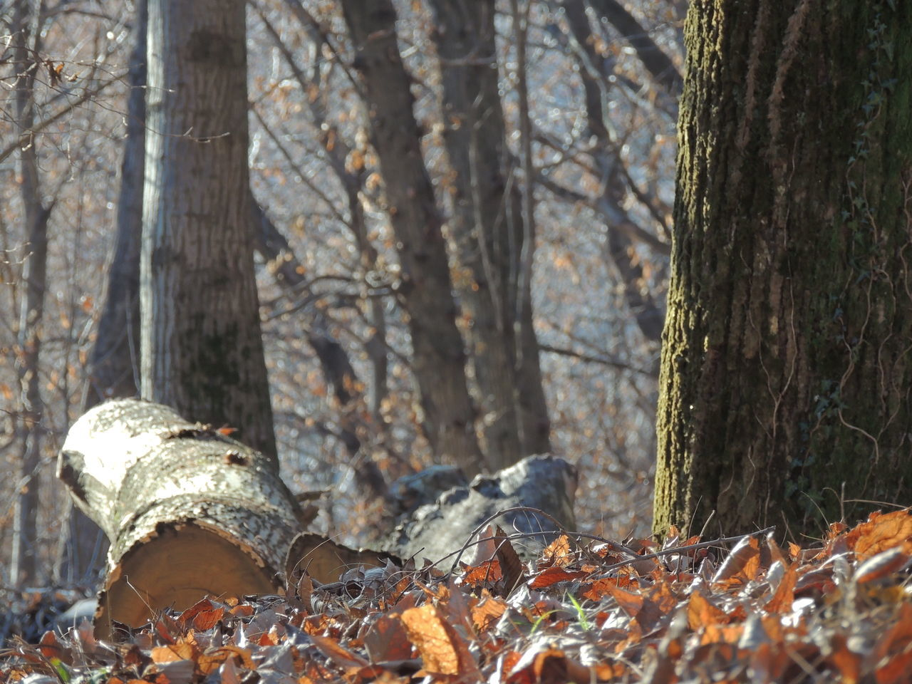 tree trunk, leaf, tree, forest, autumn, nature, change, day, no people, outdoors, branch, beauty in nature, close-up
