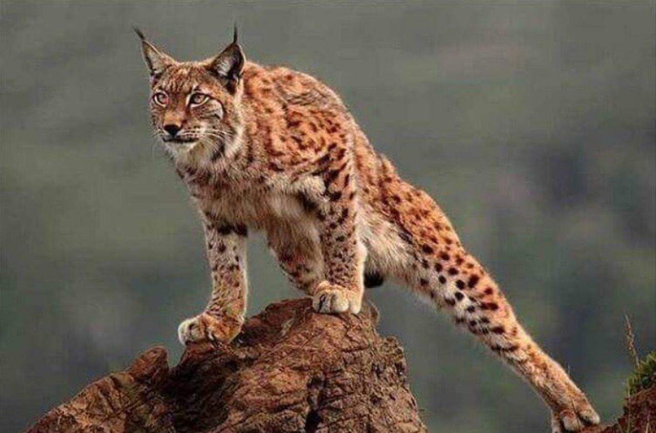 one animal, animal wildlife, animals in the wild, animal, animals hunting, cheetah, mammal, animal themes, nature, day, feline, outdoors, full length, no people, safari animals, leopard, climbing, close-up