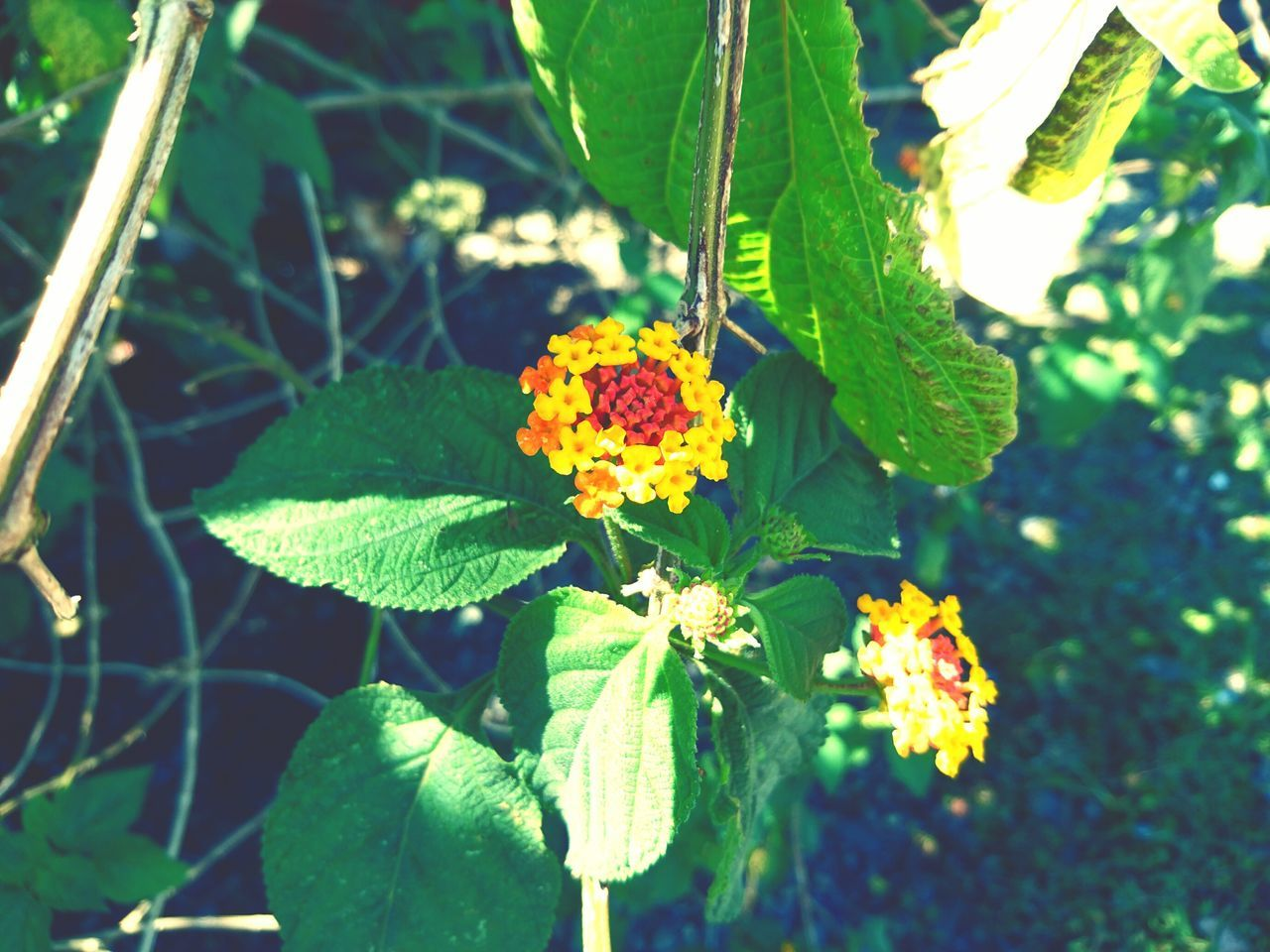 flower, leaf, growth, green color, beauty in nature, nature, fragility, freshness, plant, yellow, outdoors, day, flower head, petal, sunlight, no people, lantana camara, blooming, multi colored, close-up