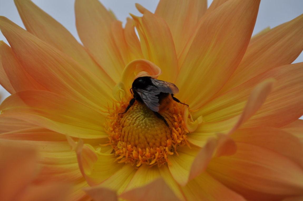 dahlia Bee Earlyautumn First Eyeem Photo Flower Nature Flower Garden Nature Photography No People Beauty In Nature