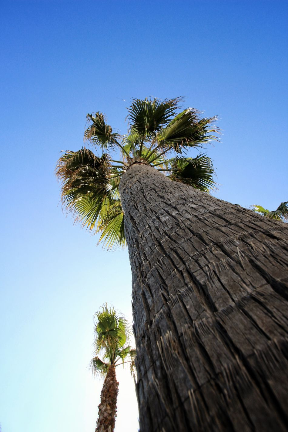 Blue Sky Palm Tree Low Angle View Clear Sky Tree Blue Green Color Tranquility Palm Frond Palm Tree And Blue Sky Palm Tree And Sky Palm Tree Trunk Looking Up At The Sky Palms PalmsTrees Palmtrees Palm Trees Palmtree Close-up Palm Palm Fronds Looking Up Sky Tree Trunk Tree