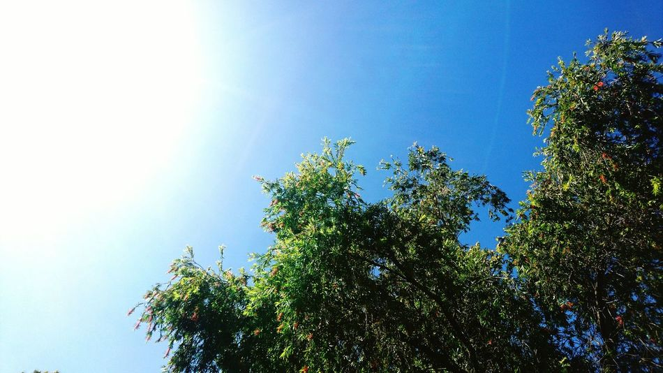 Tree Low Angle View Nature Sky Blue Clear Sky Growth Sunlight Beauty In Nature No People Sun Branch Sunbeam Outdoors Treetop Day Freshness Close-up