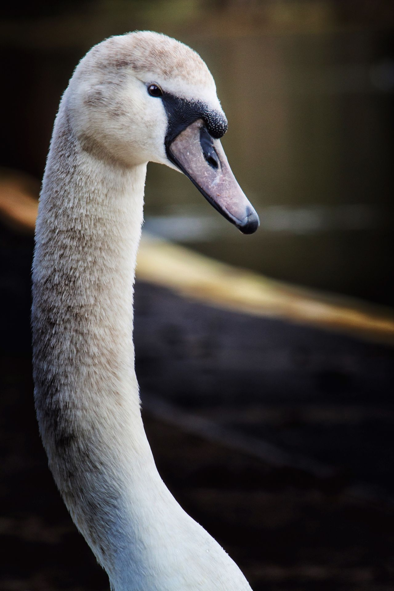 Swan Bird One Animal Close-up Beak Animal Themes Focus On Foreground Water Bird Nature No People Animals In The Wild Day Outdoors Canon700D Canonphotography Swans Neck Hello World Long Neck  White Bird