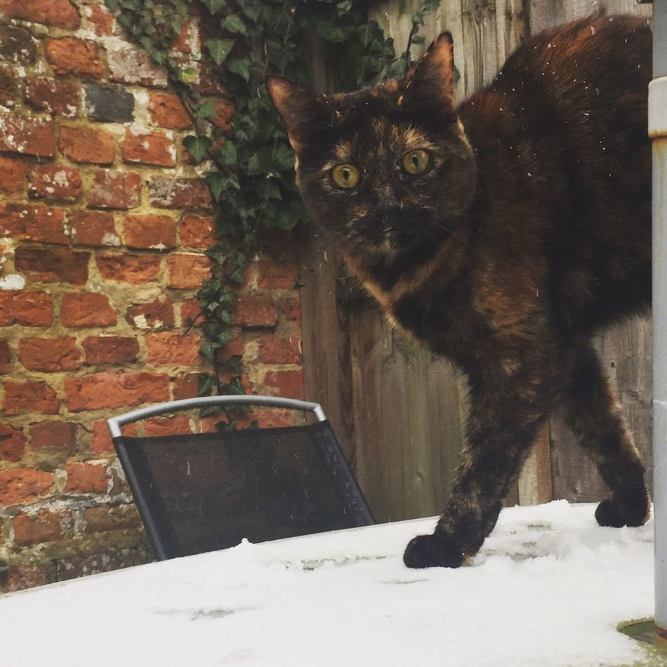 Snow Struck.. Peppa's first time in the snow. Domestic Cat Domestic Animals Pets Cat Tortoiseshell Cat Snow Winter Cold Mesmerized Kitty Tortoiseshell Love EyeEm Best Shots