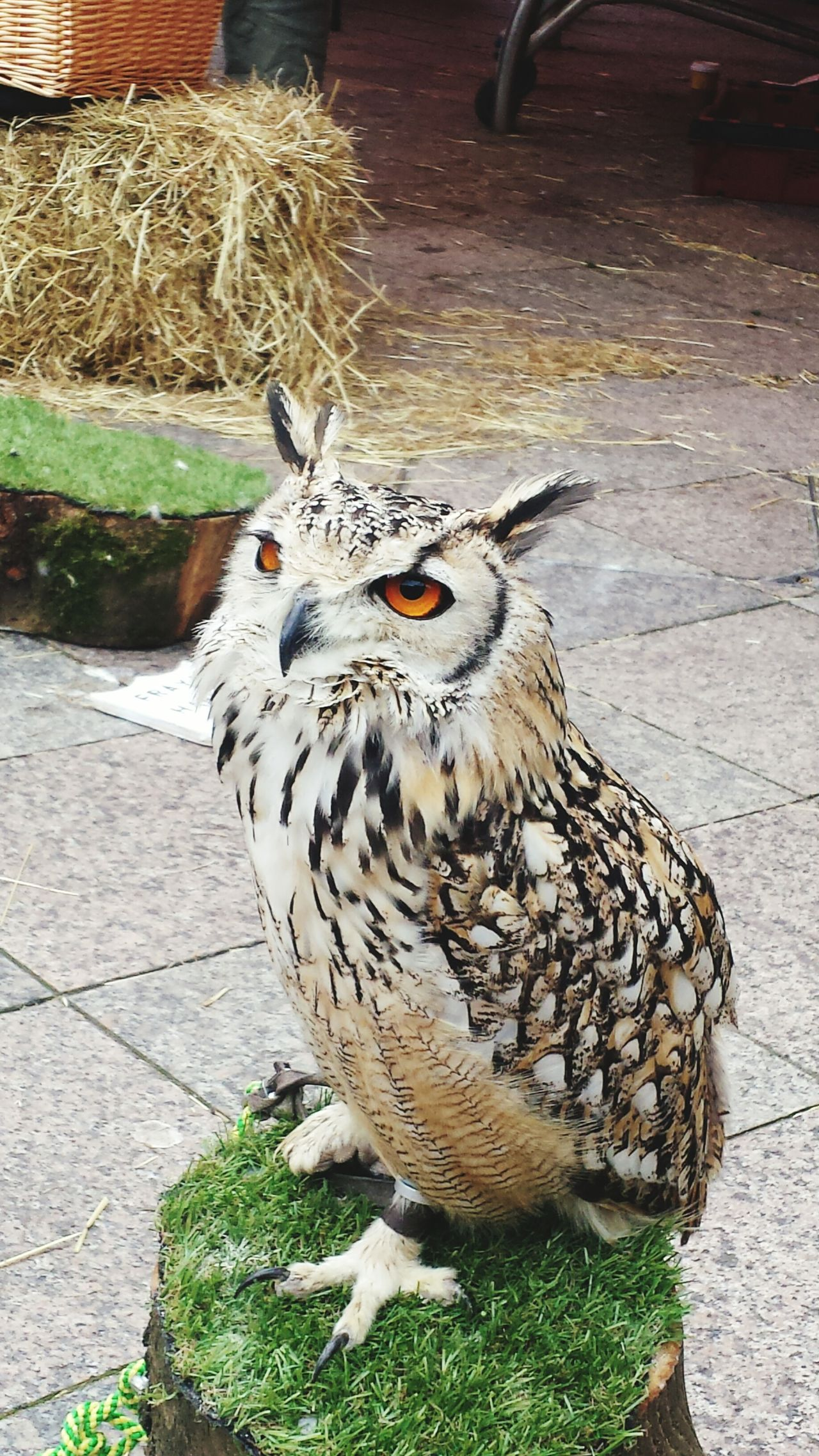 Some owls on show in Warrington. Owl Bird Birds Feathers Warrington Birds Of Prey Hunter Cute Talons Cheshire