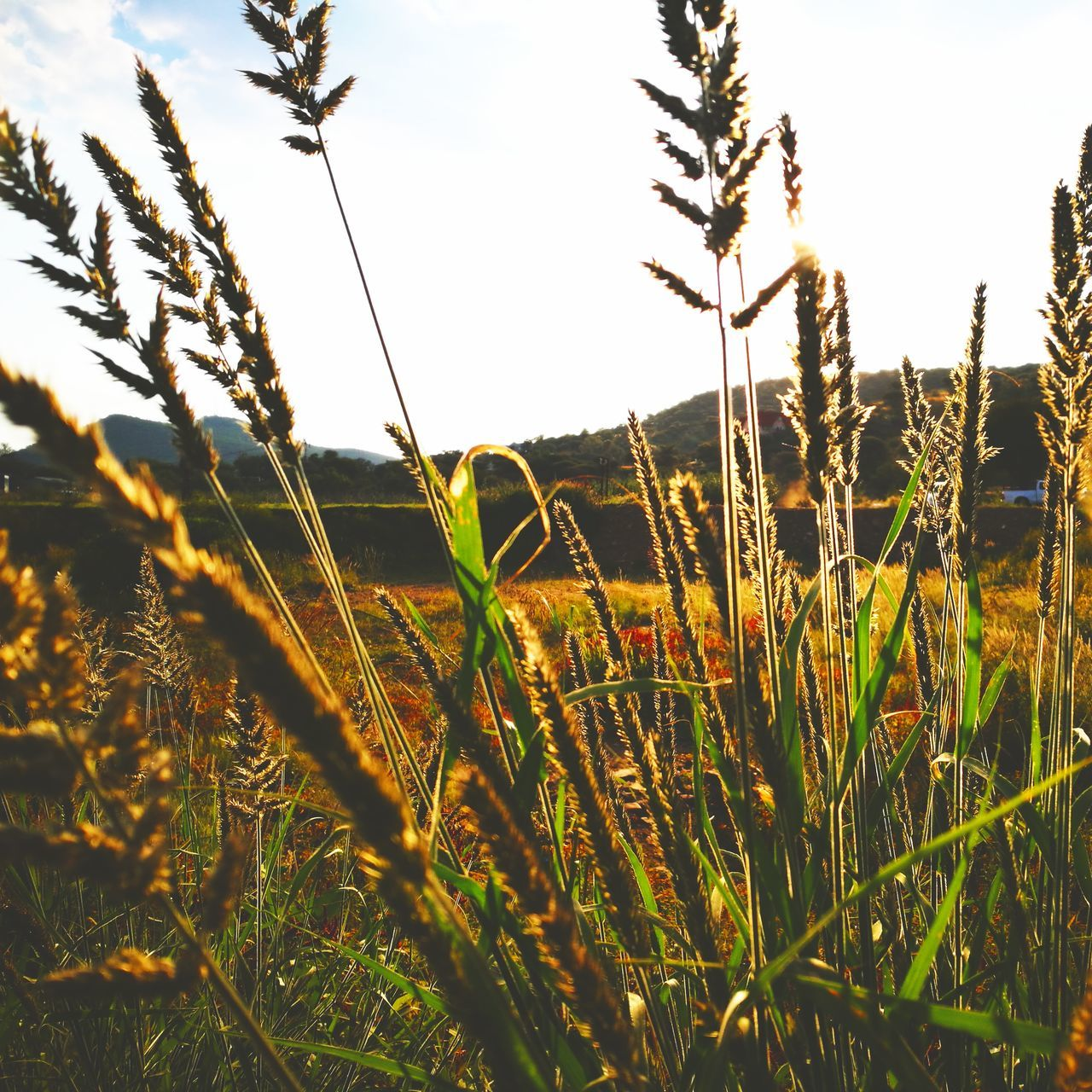 Grass in windy park Growth Nature Sunset Close-up No People Plant Sunlight Beauty In Nature Outdoors Day Sky Grassland Nature Photography Huawei Grass Park Windhoek Namibia HuaweiP9Photography Nature_collection Grassfield