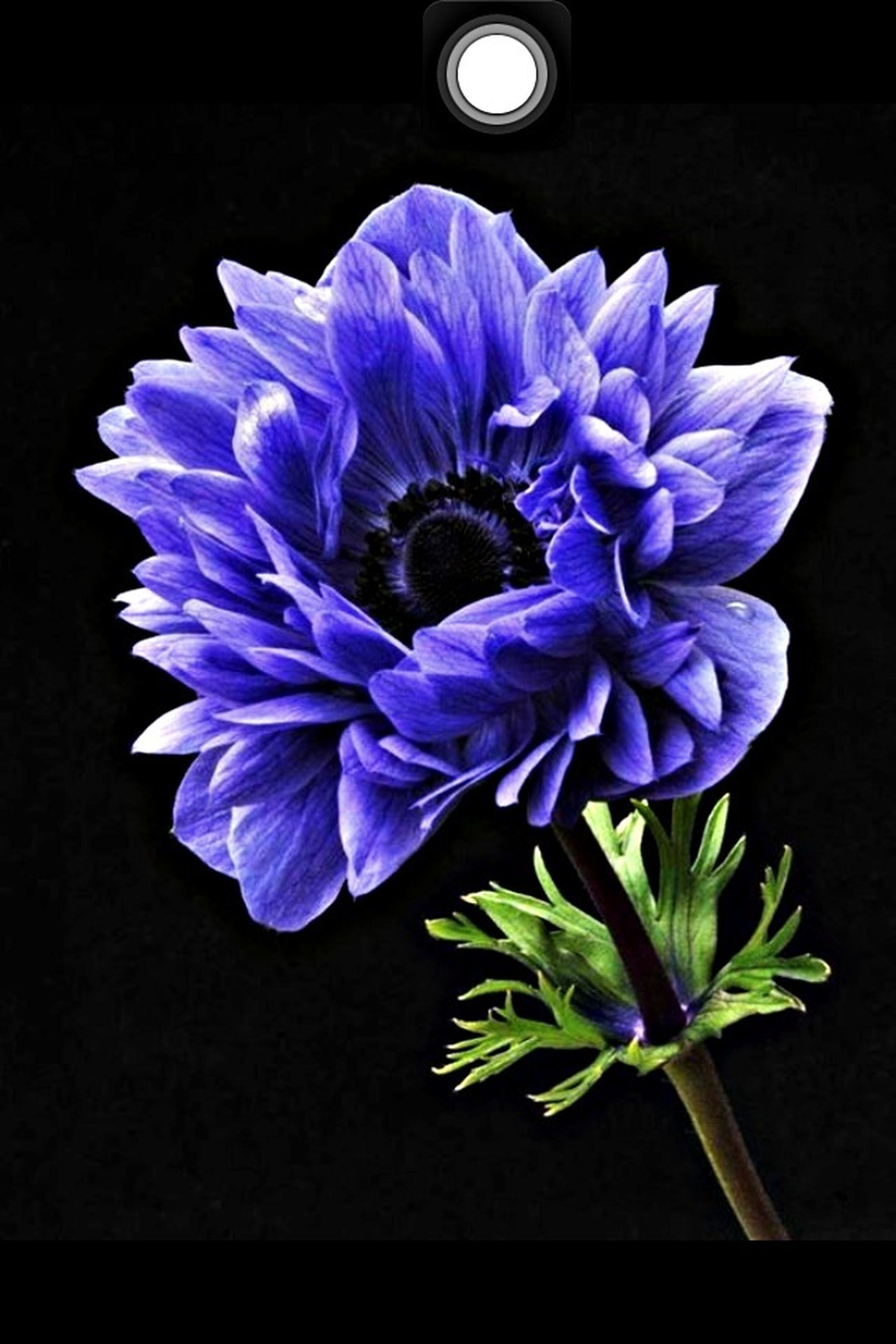 flower, beauty in nature, purple, flower head, petal, nature, blue, fragility, studio shot, freshness, close-up, no people, iris - plant, black background, outdoors, day