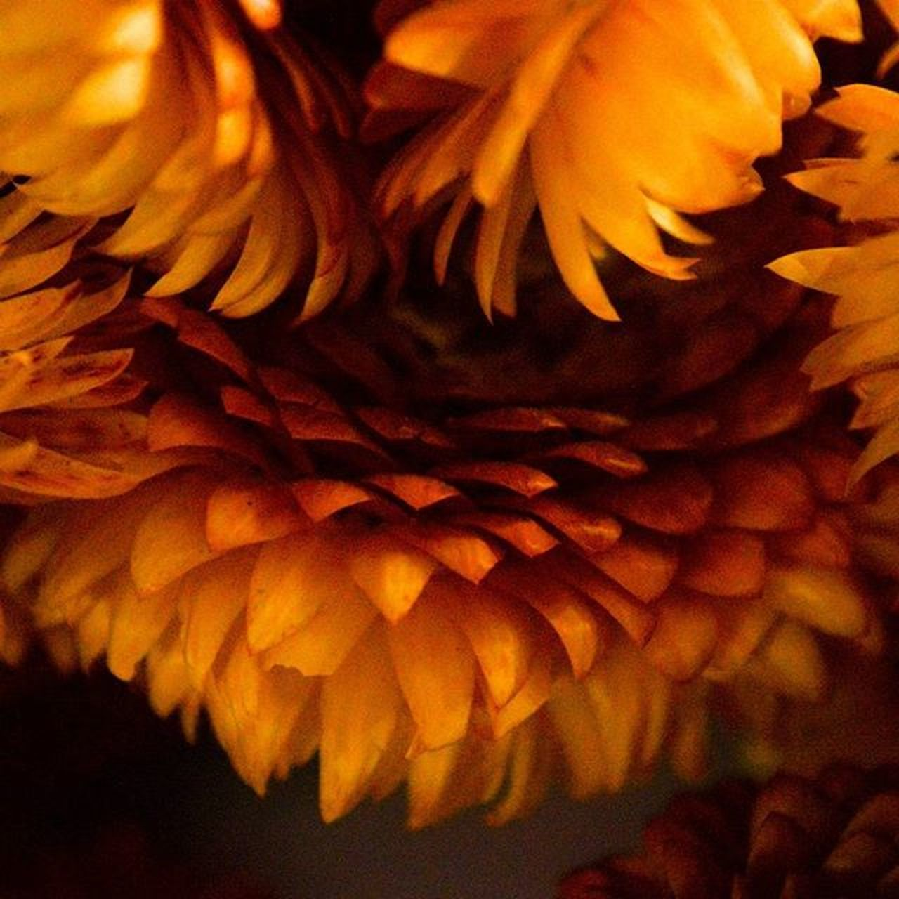 flower, petal, flower head, beauty in nature, fragility, nature, close-up, freshness, growth, selective focus, no people, sunflower, yellow, backgrounds, blooming, indoors, day