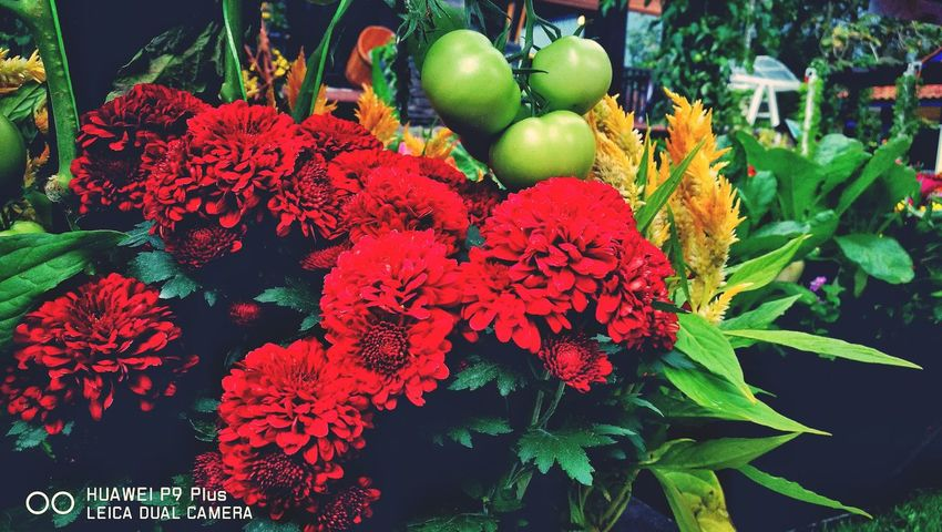 Car-nation Flower Red Nature Freshness Beauty In Nature Growth Plant Outdoors HuaweiP9plus Huaweimobile Huaweimobilemy Leicatechnology Huaweiphotography Mobilephographer Mobilephotography Eyeemoftheweek