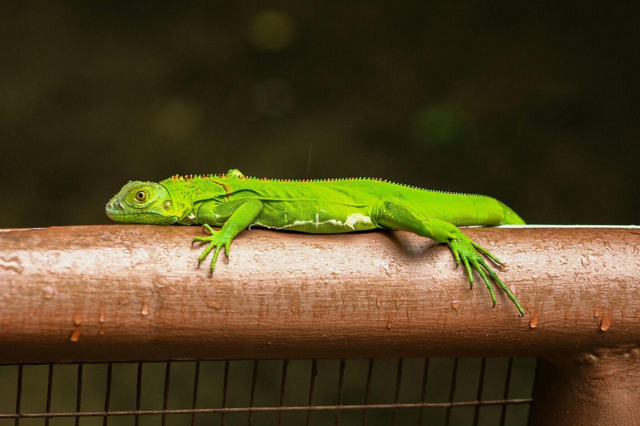 Close-Up Of Green Lizard On Railing