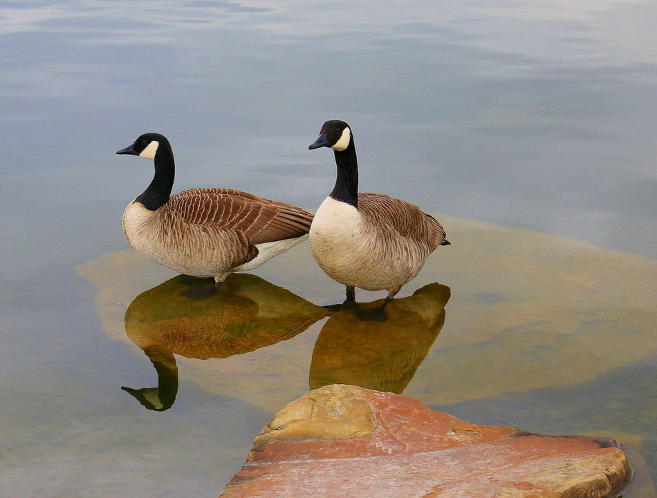 Animal Themes Animals In The Wild Bird Day Ducks Lake Nature Outdoors Peace And Quiet Stable Life Water